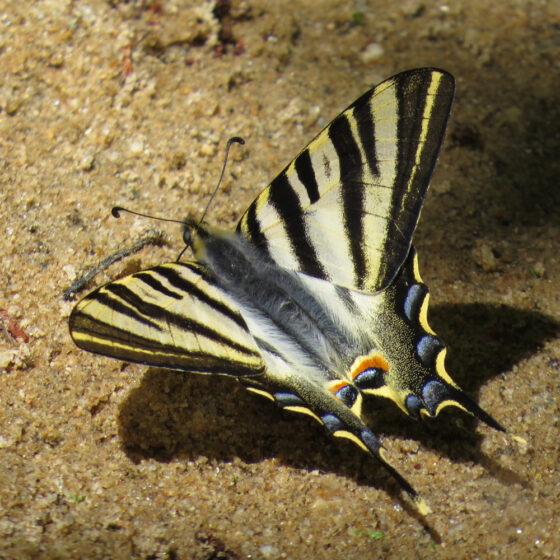 Mariposa chupaleches